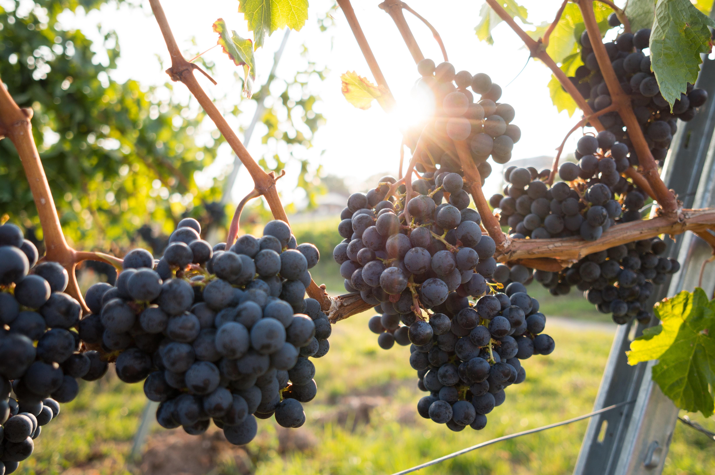 Vin Biologique *Crédit photographique : David Kohler